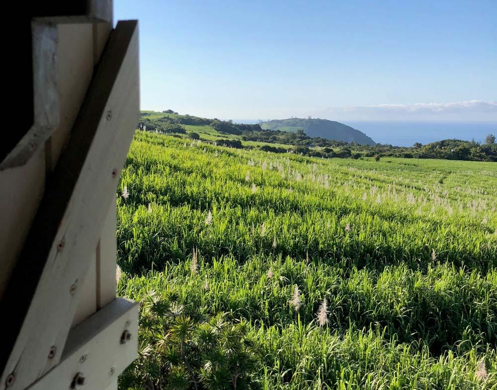 vue sur champs de cannes à sucre